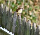 Carolina Wren - Irondequoit - © Candace Giles - Dec 10, 2016